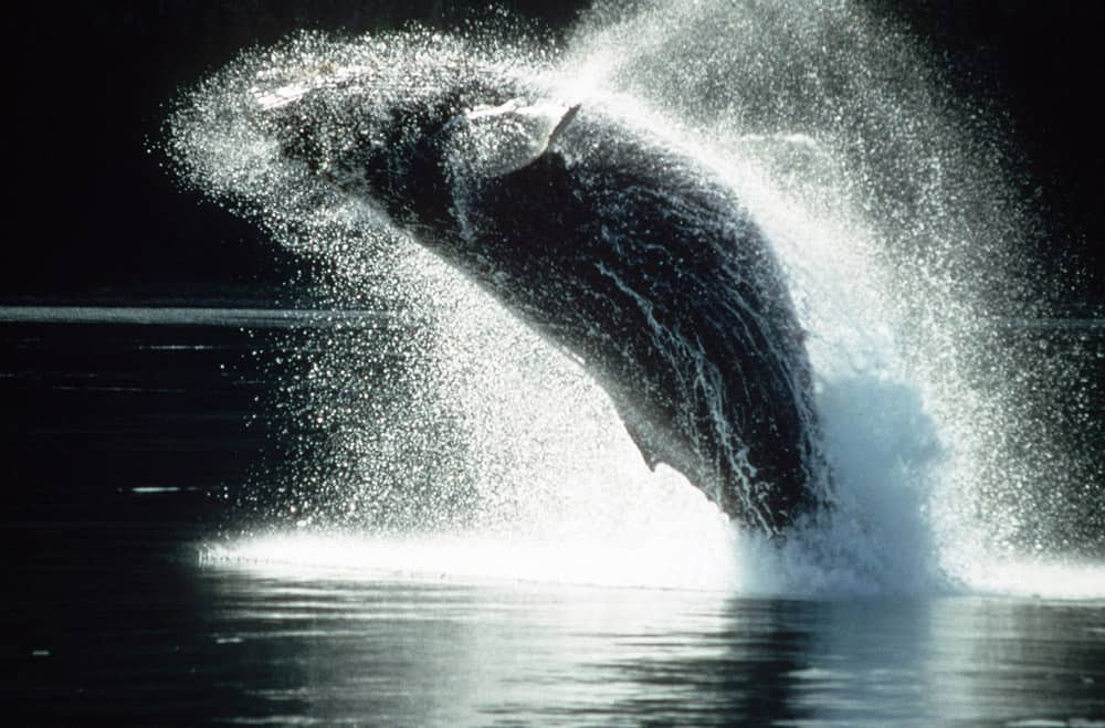 humpback-whale-coming-up-for-air