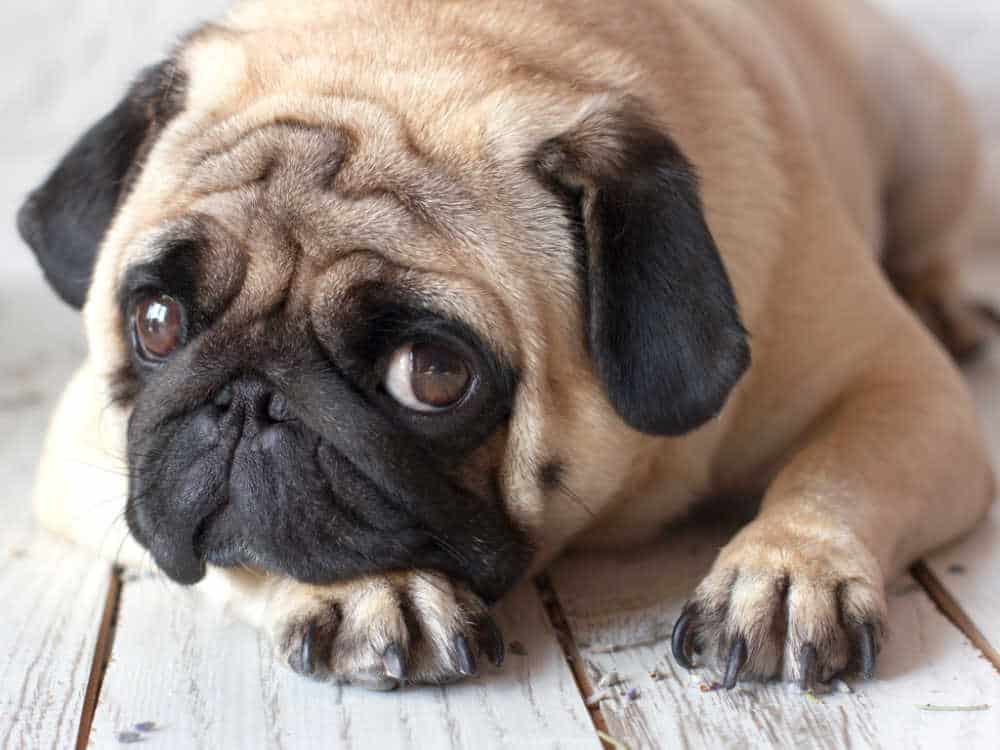 Sad pug dog with big eyes lying on the wooden floor