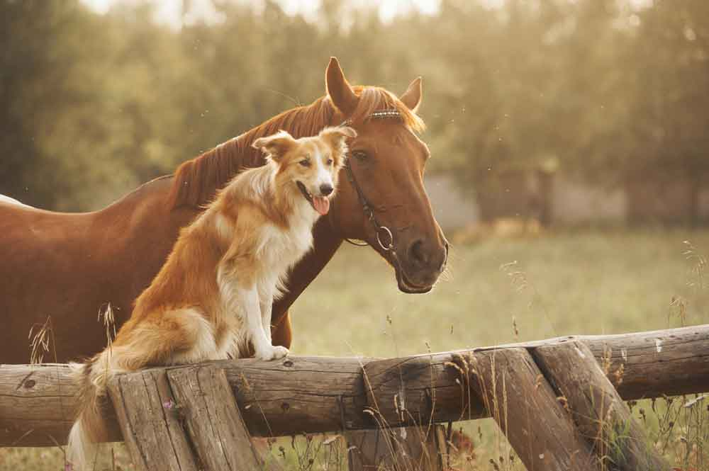 horse and dog on farm