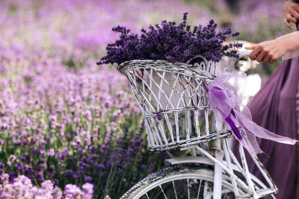bouquet lavender basket-bicycle-lavender field