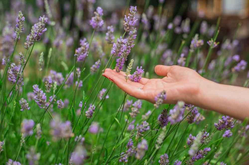 lavender field hand touching flower