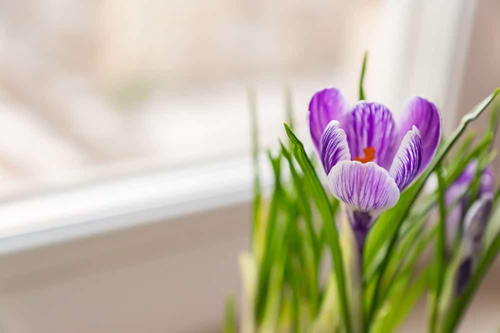 close-up-purple-crocus-bloom-window-sill-spring-flowers-domestic-gardening