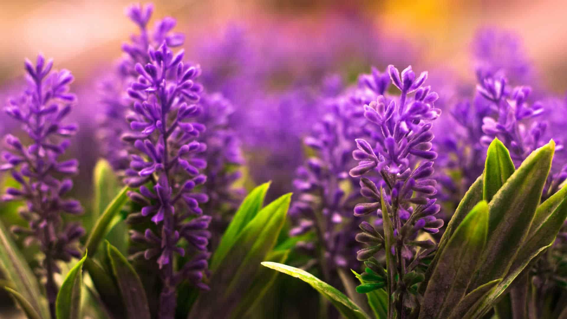 lavender-flowers-pastel-color