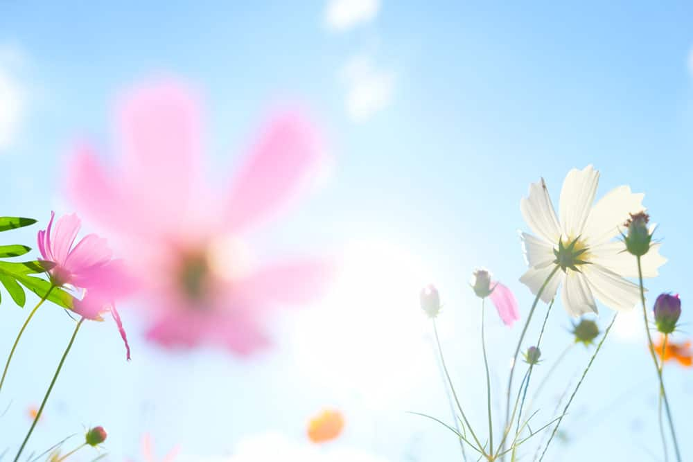 cosmos-flowers-sunlight